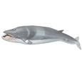 Fin Whale ##STADE## - look 1