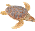 Loggerhead Sea Turtle ##STADE## - look 26